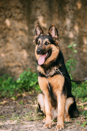 medium size: The Staring Medium Size Mongrel Mixed Breed Long-Haired Black And Red Adult Dog With Prick-Ears, Opened Jaws, Sitting On Sand. Stock Photo