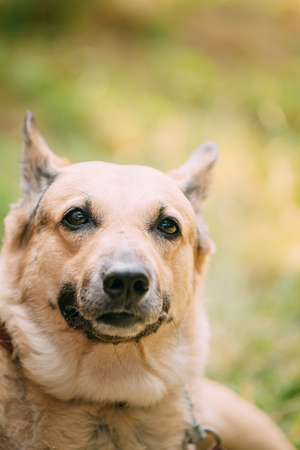 medium size: Close Up Of Medium Size Mongrel Mixed Breed Short-Haired Yellow Adult Female Dog On Green Grass Background