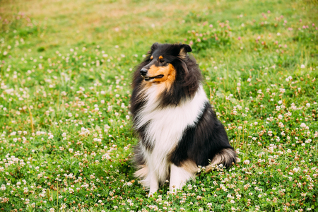 lassie: The Tricolor Rough Collie, Scottish Collie, Long-Haired Collie, English Collie, Lassie Adult Dog Sitting On The Clover Glade.