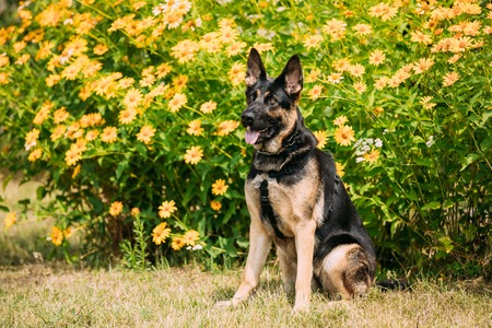 Purebred Short-Haired German Shepherd Adult Dog Or Alsatian Wolf Dog With Prick-Ears, Half-Opened Ajar Jaws, Tongue, Sitting Posing On Trimmed Lawn. Orange Yellow Flowers Background.
