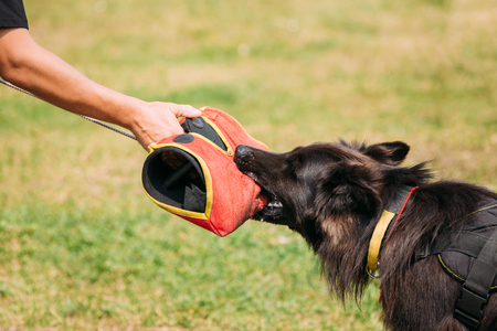 seize: The Scene Of Training Of Purebred Long-Haired German Shepherd Adult Dog Or Alsatian Wolf Dog. Attack And Strong Grip To Training Glove Of Trainer.
