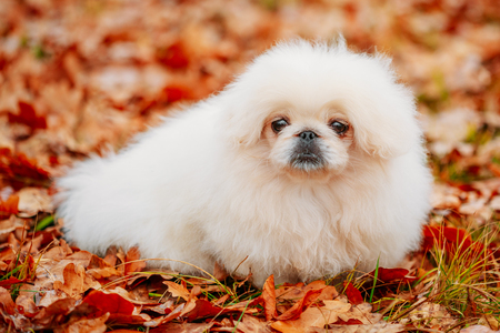 White Pekingese Pekinese Peke Whelp Puppy Dog Sitting On Red Yellow Orange Fall Foliage In Autumn Park