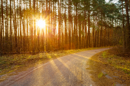 road and path through: Road, Path, Walkway Through Forest. Sunset Sunrise In Autumn Coniferous Forest Trees. Nature Woods. Sunlight Through Woods