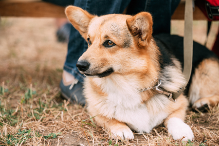herding dog: Close Up Portrait Of Young Welsh Corgi Dog In Dry Grass Outdoor. The Welsh Corgi Is A Small Type Of Herding Dog That Originated In Wales