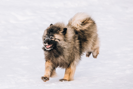 Young Keeshond, Keeshonden Dog Play In Snow, Winter Park. Running Dog