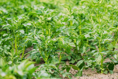 vernal: Close-Up View Of The Green Vernal Sprouts Of Potato Plant Or Solanum Tuberosum Growing On Plantation In Spring Summer.