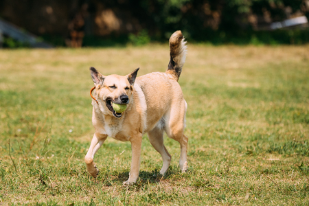 Full-Length Medium Size Mongrel Mixed Breed Short-Haired Yellow Golden Adult Female Dog With A Small Ball In Jaws Playing On Trimmed Sunny Lawn. Stock Photo