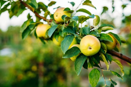sappy: Close View Of The Branch Of Apple Tree, Hung With Yellow And Pink Sappy Apples Fruit Among Green Leaves In Summer Orchard. Green Copyspace Background.