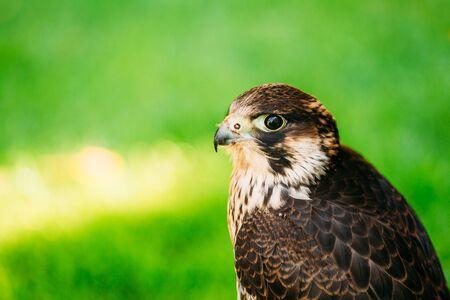 falco peregrinus: The peregrine falcon, Falco peregrinus, also known as the peregrine, and historically as the duck hawk in North America, is a widespread bird of prey in the family Falconidae.