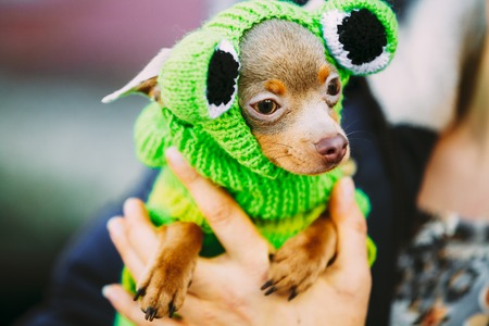 tiny frog: Beautiful Tiny Chihuahua Dog Dressed Up In Frog Outfit. Toy Dog