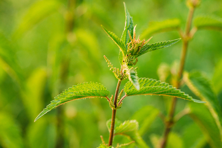 urtica: The Twig Of Wild Plant Nettle Or Stinging Nettle Or Urtica Dioica In Summer Spring Field At Sunset Sunrise. Close Up, Detail, At Green Background Stock Photo