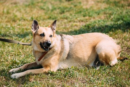 medium size: Medium Size Mongrel Mixed Breed Short-Haired Yellow Adult Female Dog Sitting On Trimmed Sunny Lawn. Stock Photo