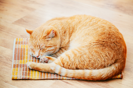 Peaceful Orange Red Tabby Cat Male Kitten Curled Up Sleeping In His Bed On Laminate Floor.