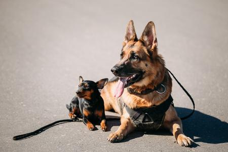 pincher: Brown German Sheepdog And Black Miniature Pinscher Pincher Sitting Together On Road Stock Photo