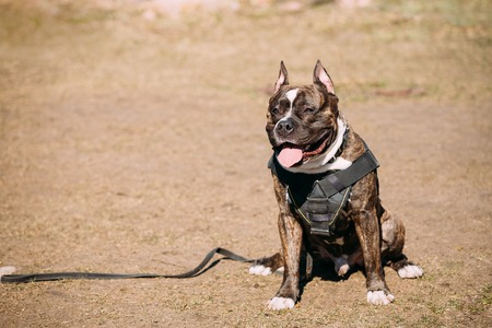 american staffordshire terrier: Dog American Staffordshire Terrier On Training Outdoor. Copy Space. Stock Photo