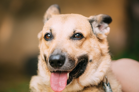 medium size: Close Up Of Funny Medium Size Mongrel Mixed Breed Short-Haired Yellow Adult Female Dog With Tongue In Collar On Brown Background. Dog Looking At Camera