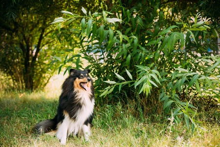 herding dog: Staring To Camera Tricolor Rough Collie, Scottish Collie, Long-Haired Collie, English Collie, Lassie Adult Dog Sitting On Green Grass Summer Day. Stock Photo