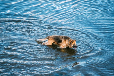 The Bathing Wallowing In Blue Water Of River Lake Alsatian Wolf Dog Long-Haired Wet Black And Red And Tongue. Deutscher, German Shepherd Dog. Copy Space Stock Photo