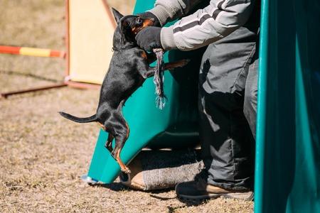 min: Miniature Pinscher Dog Training. Biting Dog. Zwergpinscher, Min Pin