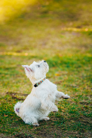 Funny West Highland White Terrier - Westie, Westy Dog Dancing On Grass