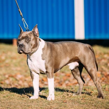 american staffordshire terrier: Beautiful Dog American Staffordshire Terrier Outdoor in Autumn Season