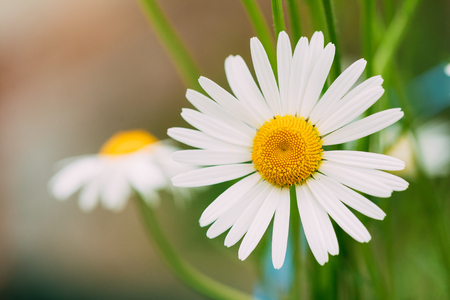 matricaria: Close View Of Chamomile Or Matricaria, Beautiful Blooming Garden And Decorative White Flower With Yellow Inflorescence In The Center In Summer Spring. Stock Photo