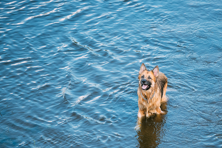 wallowing: The Bathing Wallowing In Blue Water Of River Lake Alsatian Wolf Dog Long-Haired Wet Black And Red And Tongue. Deutscher, German Shepherd Dog. Copy Space Stock Photo