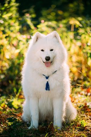 medium size: White Samoyed Dog sit Outdoor in green bushes in park. Popular  medium size breeds.