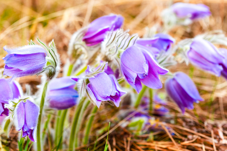 Wild Spring Flowers Pulsatilla Patens. Flowering Plant In Family Ranunculaceae, Native To Europe, Russia, Mongolia, China, Canada And United States. Stock Photo