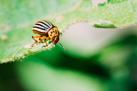Close up of single Colorado Potato Striped Beetle - Leptinotarsa Decemlineata Is A Serious Pest Of Potatoes Plants