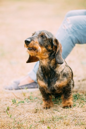 barking: Brown Red wire-haired Dachshund Dog barking outdoor