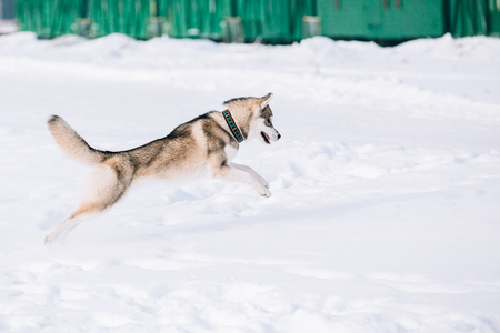 snowdrifts: Young Husky Dog Play And Fast Running Outdoor In Snow, Winter Season. Sunny Day