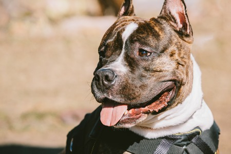 american staffordshire terrier: Close Up Of Beautiful Dog American Staffordshire Terrier Outdoor Stock Photo