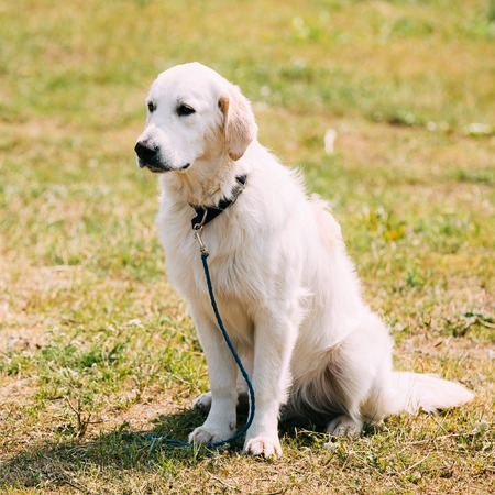 gundog: The White Labrador Retriever Adult Dog Or St. Johns Dog, St. Johns Water Dog Sitting On Trimmed Sunny Lawn. Stock Photo
