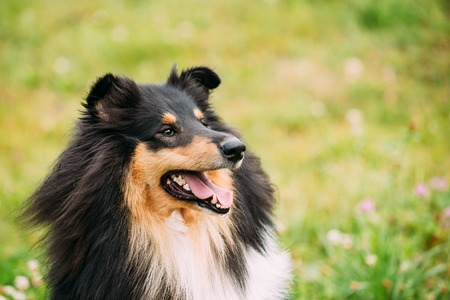 lassie: The Close Portrait Of Staring Tricolor Rough Collie, Scottish Collie, Long-Haired Collie, English Collie, Lassie Adult Dog With Ajar Jaws, Tongue.