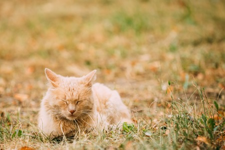 housecat: The Beige Peachy Mixed Breed Short-Haired Domestic Adult Cat, Sleeping Tucked Paws On The Yellowed Grass In The Garden. Copyspace. Stock Photo