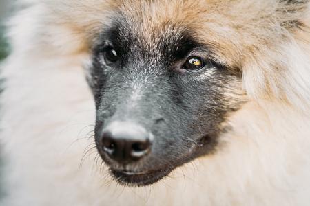 Gray Keeshound, Keeshond, Keeshonden Dog - German Spitz Wolfspitz Close Up Portrait
