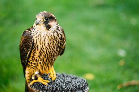 falco peregrinus: The peregrine falcon . Falco peregrinus, also known as the peregrine, and historically as the duck hawk in North America, is a widespread bird of prey in the family Falconidae. Stock Photo