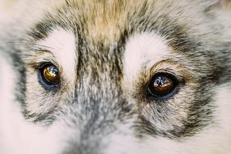 Close Up Of Eyes Of Husky Dog Puppy Whelp Reklamní fotografie