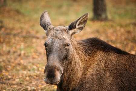 extant: Close up of head of wild female moose, elk. The moose or elk, Alces alces, is the largest extant species in the deer family. Stock Photo