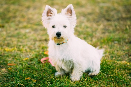 West Highland White Terrier - Westie, Westy Dog Portrait Stock Photo