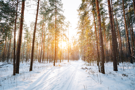 Beautiful Sunset Sunrise Sun Sunshine In Sunny Winter Snowy Coniferous Forest. Snowy Path, Road, Way Or Pathway In Winter Forest Stock Photo