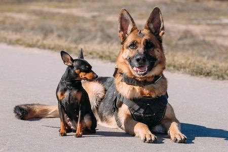pincher: Brown German Sheepdog Alsatian Wolf Dog And Black Miniature Pinscher Pincher Sitting Together On Road Stock Photo