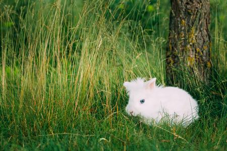 miniature breed: Cierre la vista de nieve mullida blanca del conejo de conejito de las razas enanas decorativos miniatura lindo mezclado con la sentada azul brillante con los ojos En la hierba verde en jardín.