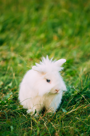 leporidae: Close Profile Of Cute Dwarf Lop-Eared Decorative Miniature Snow-White Fluffy Rabbit Bunny Mixed Breed With Blue Eyes Sitting In Bright Green Grass In Garden.