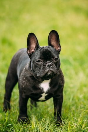pure bred: Young Black French Bulldog Puppy Dog With A White Spot On His Chest In Green Grass, In Park Outdoor