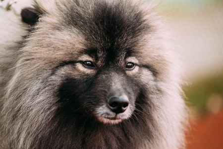 Close Up Of Lovely Young Keeshond, Keeshonden Dog Stock Photo