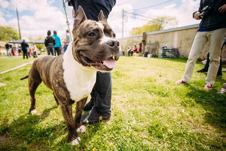 wideangle: Beautiful Dog American Staffordshire Terrier Standing Near Man Feet. Photo Shot On The Wide-angle Lens.