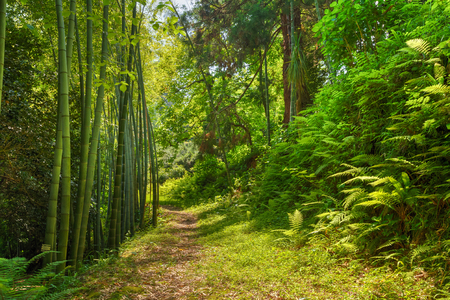 Beautiful Road Lane Path Way Through Summer Bamboo Forest Woods And Fern Bushes. Nobody