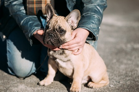 pure bred: Funny Lovely French Bulldog Dog Puppy In Park Outdoor. Popular breed of dog